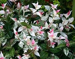 Trachelospermum 'Tricolour' (star jasmine)