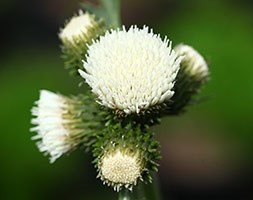 Cirsium rivulare 'Frosted Magic' (brook thistle)