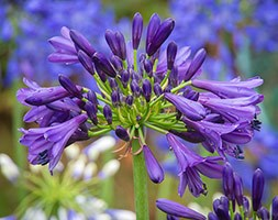 Agapanthus 'Purple Delight' (African Lily)