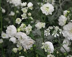 Campanula persicifolia 'Powder Puff' (peach-leaved bellflower)