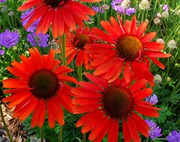 Echinacea 'Hot Lava' (PBR) (coneflower)