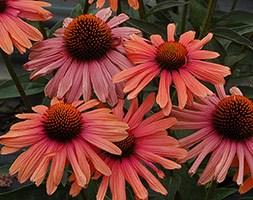 Echinacea  'Mama Mia ' (PBR) (coneflower)