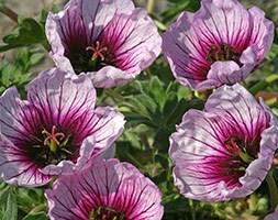 Geranium 'Tumbling Heart' (geranium)