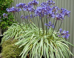 Agapanthus 'Gold Strike' (African lily)