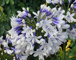 Agapanthus 'Twister' (PBR) (African lily)