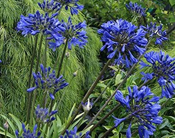 Agapanthus 'Brilliant Blue' (African lily)