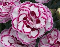 Dianthus Gran's Favorite (pink)
