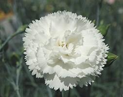 Dianthus 'Haytor White' (pink)