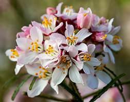 Choisya x dewitteana Pink Dazzler (PBR) (Mexican orange blossom)