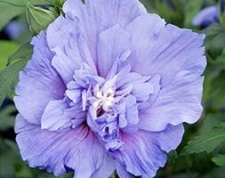 Hibiscus syriacus Blue Chiffon ('Nowood3') (PBR) (tree hollyhock)