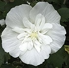 Hibiscus syriacus White Chiffon ('Nowoodtwo') (PBR)