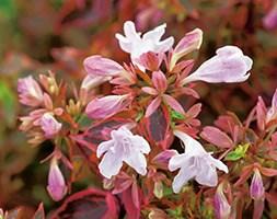 Abelia x grandiflora Sunshine Daydream ('Abelops') (PBR) (abelia)