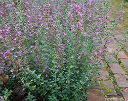 Teucrium x lucidrys (hedge germander)