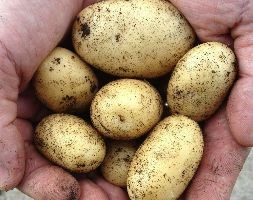 potato 'Kifli' (early maincrop potato)