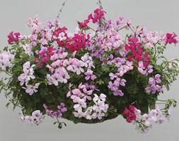 Geranium 'Summer Rain' (40 plus 20 FREE large plug plants)