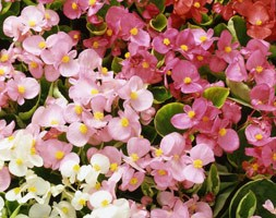 Begonia 'Heaven Delight F1 Mixed' (40 plus 20 FREE large plug plants)