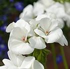 Geranium 'White'