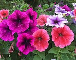 Petunia 'Reflection Mix' (Frenzy Reflection Mix) (40 plus 20 FREE large plug plants)