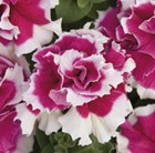Petunia 'Double Pirouette F1 Rose'