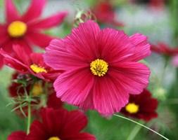 Cosmos bipinnatus 'Rubenza' (40 plus 20 FREE large plug plants)