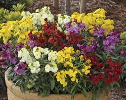 Wallflower 'Sugar Rush' (40 plus 20 FREE large plug plants)