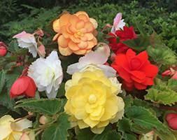 Begonia 'Illumination Mixed' (40 plus 20 FREE large plug plants)