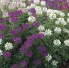 Cleome 'Odyssee Mixed'