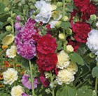 Alcea 'Charter's double mixed'