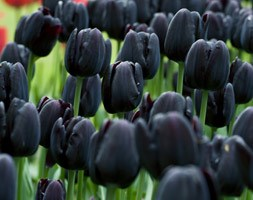 Tulipa 'Cafe Noir' ( tulip bulbs)