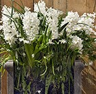 Bulbs for pots -  Ice whites