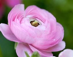 Ranunculus 'Aviv Pink' (ranunculus bulbs)