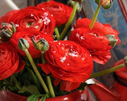 Ranunculus 'Aviv Red' (ranunculus bulbs)