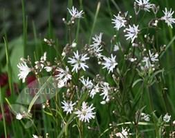 Lychnis flos-cuculi 'White Robin' (Ragged Robin)