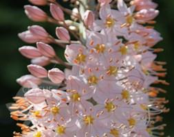 Eremurus 'Robustus' (foxtail lily)