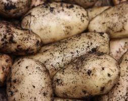 potato 'Duke of York' (seed potato for summer planting)