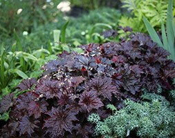Heuchera villosa 'Palace Purple' (coral bells)