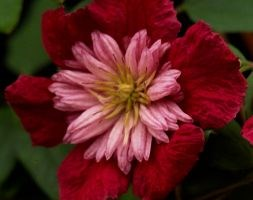 Clematis 'Avant-garde = 'Evipo033' (PBR)' (clematis (group 3))