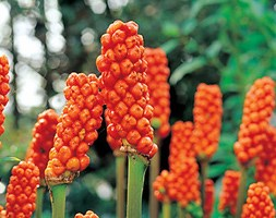 Arum italicum (lords and ladies)