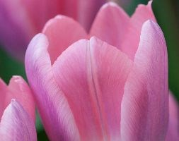 Tulipa 'Light and Dreamy' (Darwin hybrid tulip bulbs)