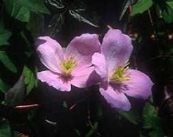 Clematis montana var. rubens (clematis (group 1))