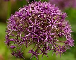 Allium stipitatum 'Violet Beauty' (allium bulbs)