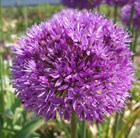 Allium hollandicum (aflatunense)