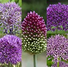Shades of purple - Allium collection
