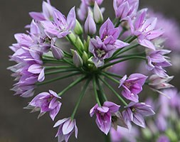 Allium 'Eros (PBR)' (ornamental onion)