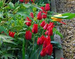 Tulipa 'Ile de France' (triumph tulip bulbs)