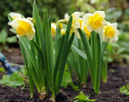 Narcissus 'Salome' (large cupped daffodil bulbs)