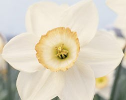 Narcissus andapos;High Societyandapos; (large cupped daffodil bulbs)