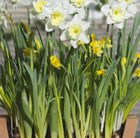 Bulbs for pots - Creams & yellows