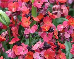 Erysimum 'Winter Orchid' (wallflower)