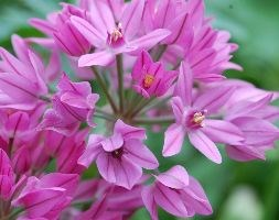 Allium oreophilum (mountain lover / pink lily leek)